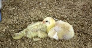 Chickens <b>not products</b> | World <b>Animal</b> Protection