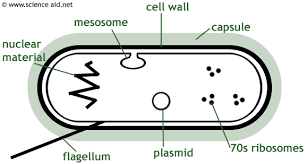 collection diagram of bacteria cell pictures   diagramsdiagram of bacteria cell photo album diagrams