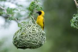 Prentresultaat vir weaveer bird