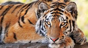 Image result for tiger