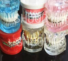 <b>Dental</b> Oral Care <b>Tooth Teeth Model Dental Orthodontic Model</b> for ...
