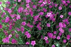 Plants Profile for Dianthus deltoides (maiden pink)