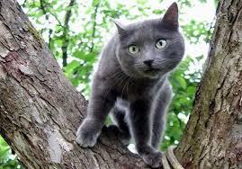 Серые <b>кошки</b> [фото + список пород]: суеверия, уход и особенности