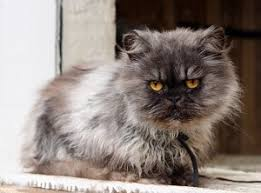 Why Are <b>Persian Cats</b> So Expensive - Price Chart & Guide | FAQcats ...