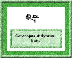 Coronopus didymus in Flora of Pakistan @ efloras.org