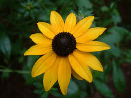Rudbeckia fulgida (Orange coneflower) | Native Plants of North ...
