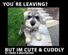 Miniature Schnauzer Pictures on Pinterest | Schnauzers, Miniature ... via Relatably.com