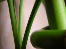 Les défis Botaniques de Shiemi :) - Page 6 Images?q=tbn:ANd9GcQgKQEUuS5KNGMpenMBdby0tSFbyTzvh53bByTrJxyBL6Su4O592Q