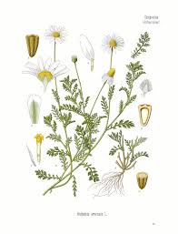 Anthemis arvensis - Wikipedia
