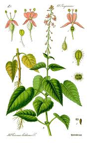 Circaea lutetiana - Wikipedia