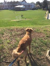 notes from peabody the uva application process golden retriever uva grounds