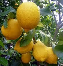 lemon tree x: growing lemon trees dscn p edited