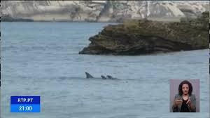 Golfinho deu à costa na praia do Baleal, em Peniche