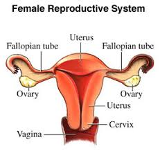 describe the human female reproductive system with the help of a     answer   votes  the various organs in the female reproduction