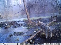 the trail camera in chernobyl exclusion zone ЧернобыРь Припять wolf in chernobyl trail camera