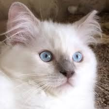 fbrl cat breeders ragdoll breeders ragdoll cat breeders colorado