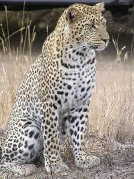 <b>Leopard</b> - Wikipedia