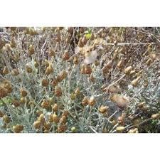 Genere Phagnalon - Flora Italiana