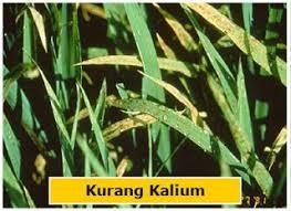 Image result for PERAN UNSUR HARA KALIUM (K) BAGI TANAMAN