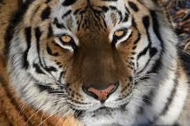 Тигриный праздник в Приморье будут отмечать три дня ...
