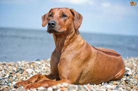 Image result for rhodesian ridgeback dog