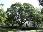 Images & Illustrations of camphor tree