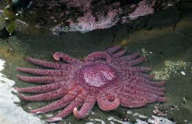 student collaboration leads to first results describing sick sea a healthy sunflower star pycnopodia helianthoides this species was used in the uw study