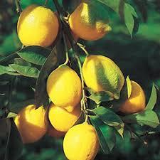Резултат слика за limun