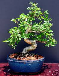 click here to enlarge image chinese elm bonsai tree