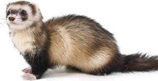Image result for ferret on shoulder