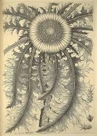 Carlo Allioni (1728-1804) Botaniste italien | Carlina Acantiflora ...