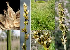 Carex otrubae Podp. - Portale sulla flora del basso corso del ...