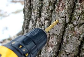 how to tap black walnut trees for syrup black walnut tree trunk