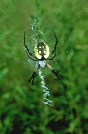 Illinois Natural History Survey <b>Black and Yellow</b> Garden Spider