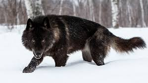 Image result for white and black wolves together