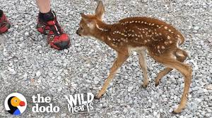 Tiny Baby <b>Deer</b> Asks People to Rescue Her | The Dodo Wild Hearts ...