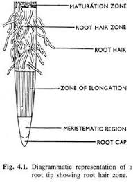 absorption of water in plants  with diagram diagrammatic representation of a root tip