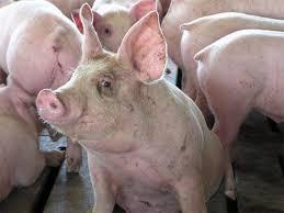 Вирус косит свиней в США