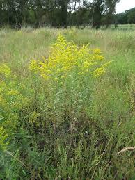 Solidago canadensis - Michigan Flora