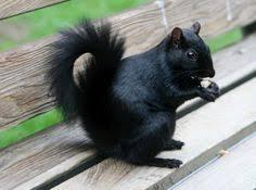 Image result for black -grey squirrels