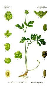 Adoxaceae - Wikipedia