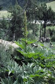 Rheum palmatum in Flora of China @ efloras.org