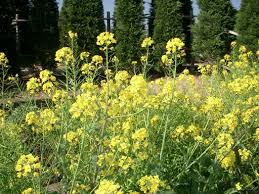 Brassica rapa - Wikipedia