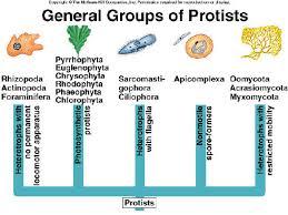 Image result for protists