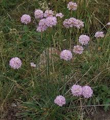 Armeria arenaria (Pers.)