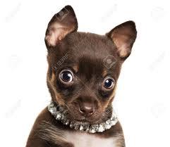 Resultado de imagen para little cute chihuahuas funny