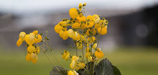 Calceolaria | Costa Farms