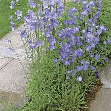 Peach-leaved bellflower - FineGardening