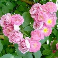 Kết quả hình ảnh cho hoa Tầm Xuân