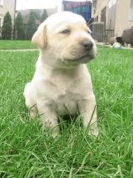 Płeć: Suczka. Rasa: Golden. Opis: Spokojna , Zabawna i miła dla innych psów i dzieci. Rodowód: Tak. Wiek: 10 miesięcy. 14:48, kapelciaxk , Adopcje Psów - 00_Labrador_Retriever